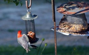 A woodpecker on a bird feeder