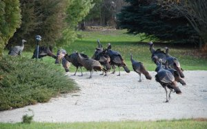 turkeys crossing a dirt road