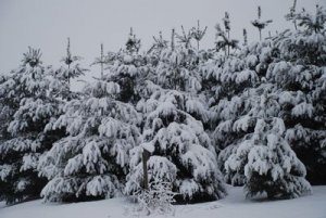 pine trees covered in fresh snow