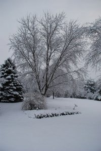 A large tree covered in fresh snow