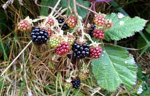 Blackberries ripening on the vine