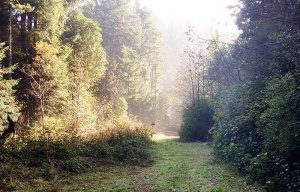 A sunlit forest walkway fading into fog