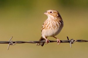 A bird on barbed wire