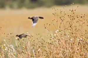 Birds flying across a dry field