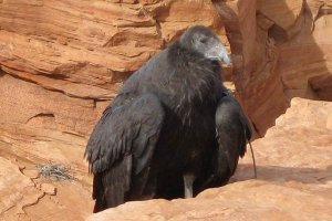 A large vulture standing on a rock