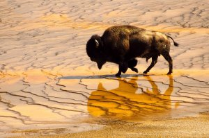 Buffalo walking across wet plain