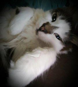 White Birch Inn Pets in-house cat Mulligan