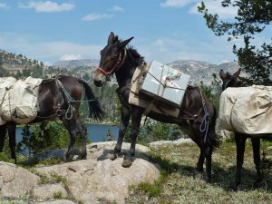 pack mules in a line