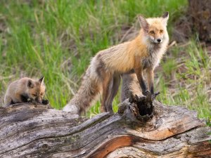 foxes on a fallen tree stump