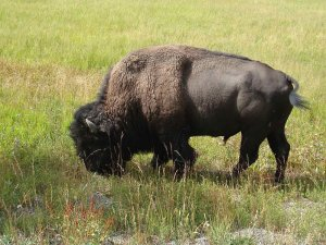 bison in grassy field