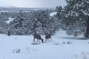 Deer grazing in the snow