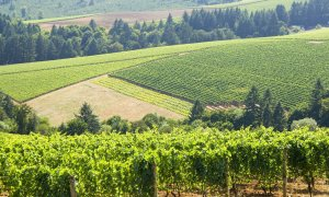 Vineyards divided by strips of forest