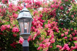 lamp post amid pink blossoms