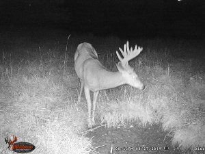 8-27-2019 Trail Cam Image of white tail Deer