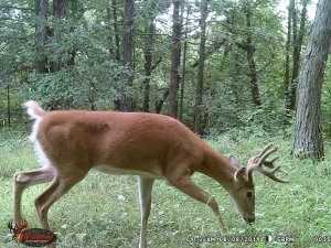 8-8-2019 Trail Cam Image of Deer