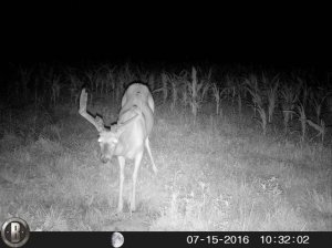 7-15-2016 Trail Cam Image of Deer Looking Straight