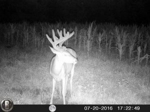 7-20-2016 Trail Cam Image of Deer Looking Right