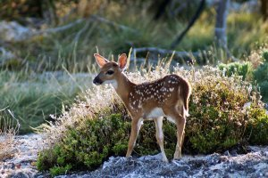Small deer by bush