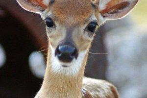 Deer looking straight ahead