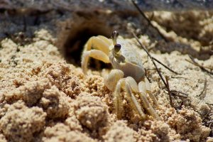 A crab crawling out of a hole in the sand