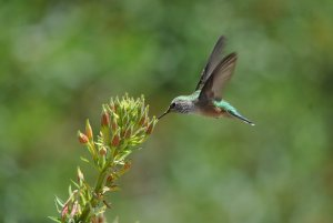 Hummingbird drinking nectar from a plant