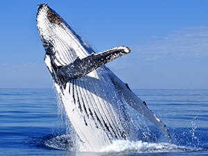 Whale watching at Bridgetown Motor Inn near Nova Scotia