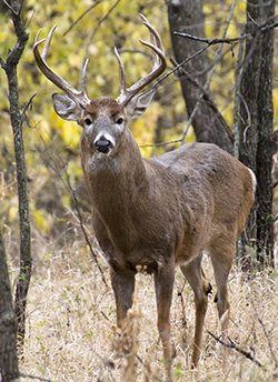 Deer in Kansas