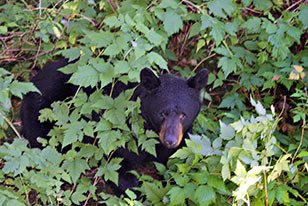 black bear near Bears Den Cabins in Cordova, AK
