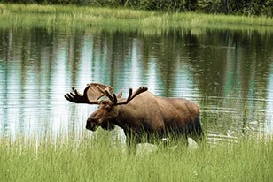 Moose near Bears Den Cabins in Cordova, AK