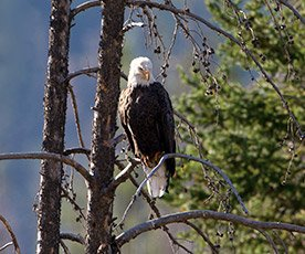 Bald Eagle in Idaho