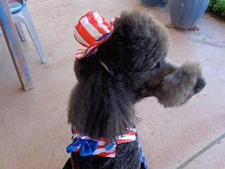 Zorro the poodle is the Chocolate Turtle greeter