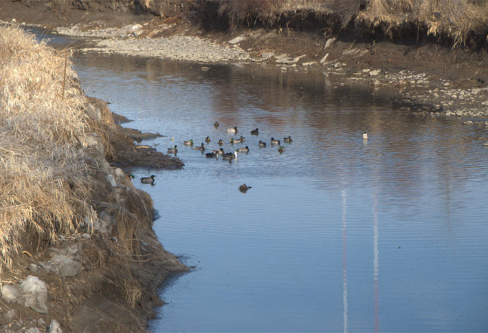 ducks in the river by the crossings bed and breakfast