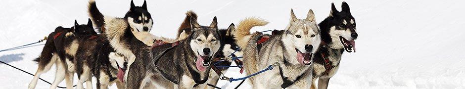 alaskan huskies pulling sled