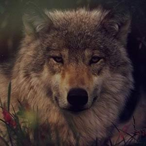 grey wolf timber wolf