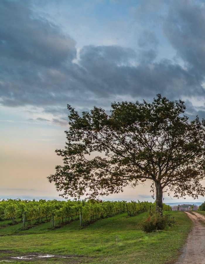 Wine country near Tattingstone