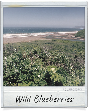 Wild Blueberris by the Ocean