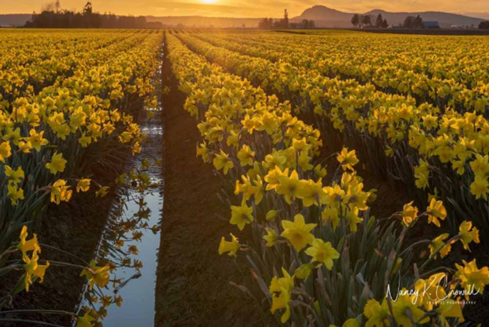 field of daffodils at sunset