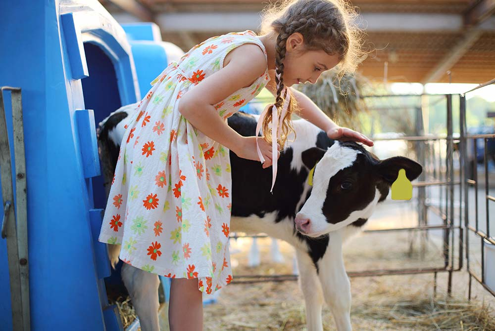 Little girl with baby cow