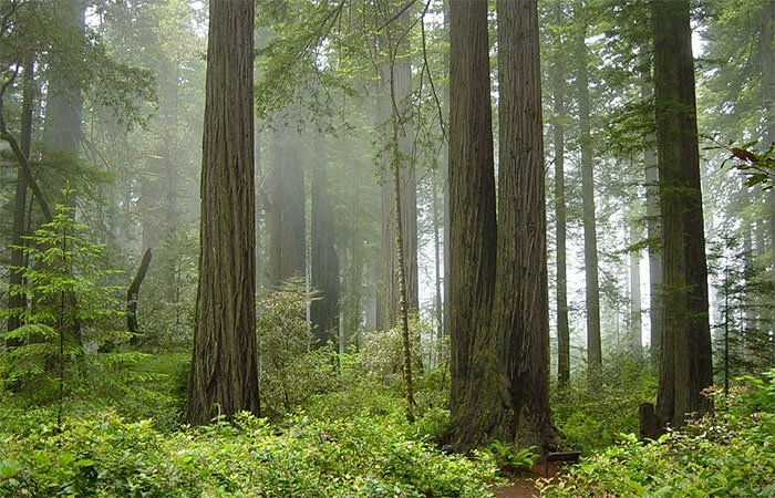 Redwoods near Cottages on River Road in Guerneville, CA