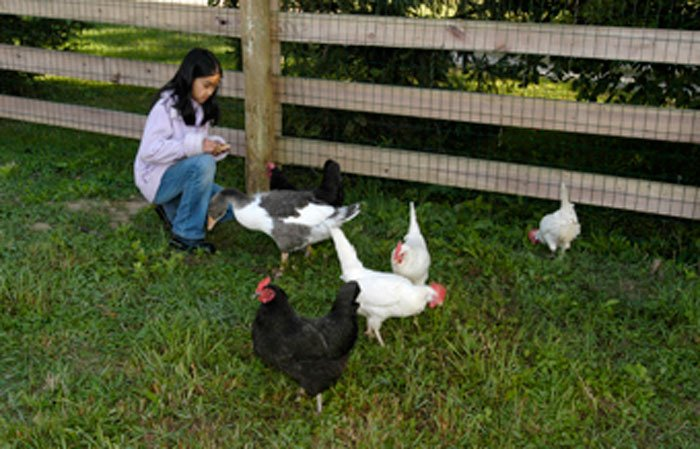 A girl feeding chickens