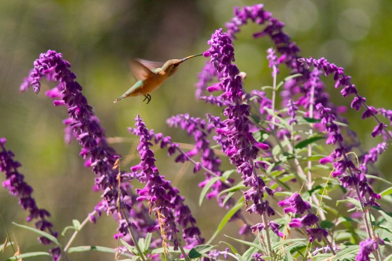 A hummingbird with purple flowers