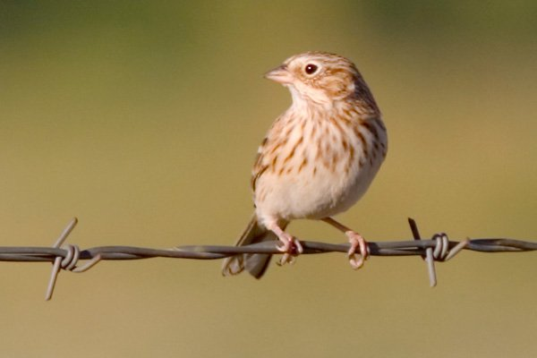 A small bird on barbed wire