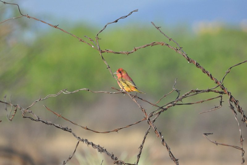 A small bird on twisting barbed wire