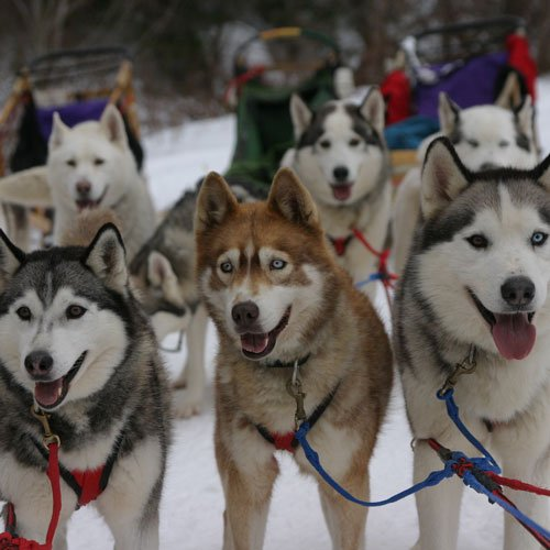 Dog Sledding at the Wilmington Inn
