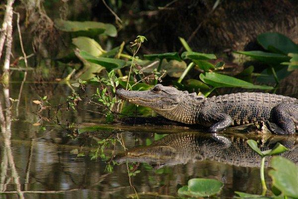 Hotel Seacrest aligator everglades