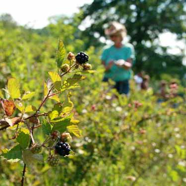 A woman picking berries