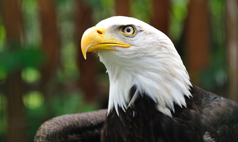 PJ's Lodge Adventures Bald Eagle