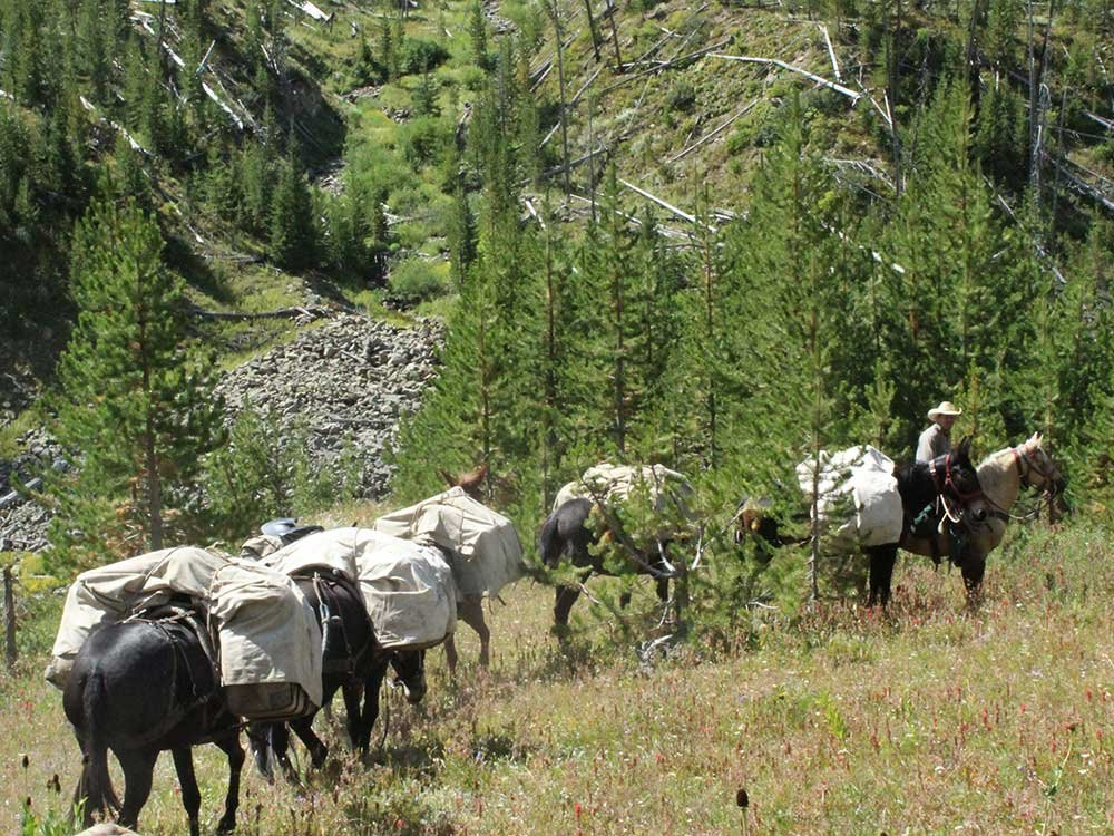 mules packing through forest