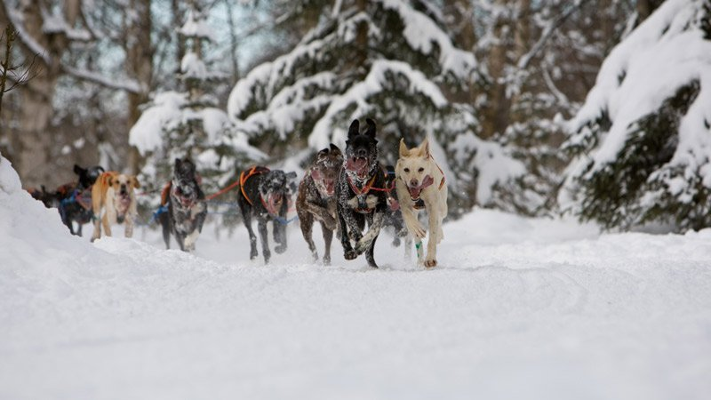 a team of at least 8 dogs rushing around a snowy corner