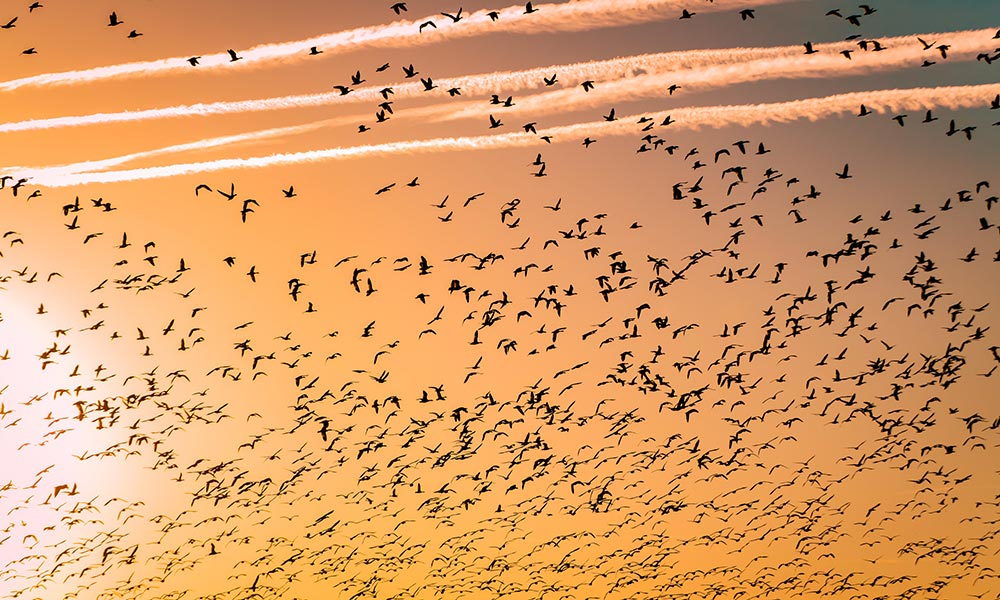 Birds migrating in a large group